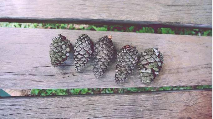 pineconesWood.JPG